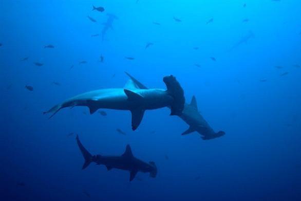 Isla del Coco entre los 10 mejores lugares para nadar con tiburones