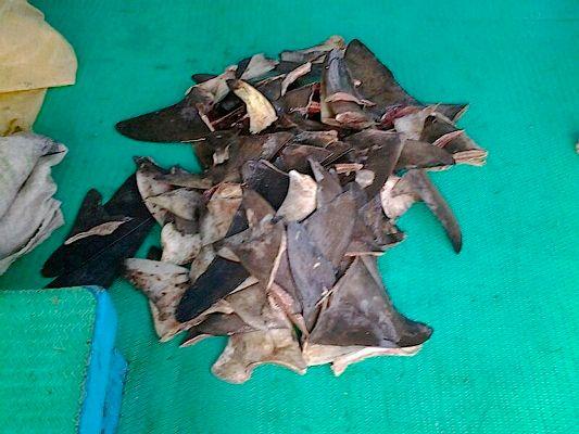 Condenan a empresaria por aleteo de tiburón en Puntarenas
