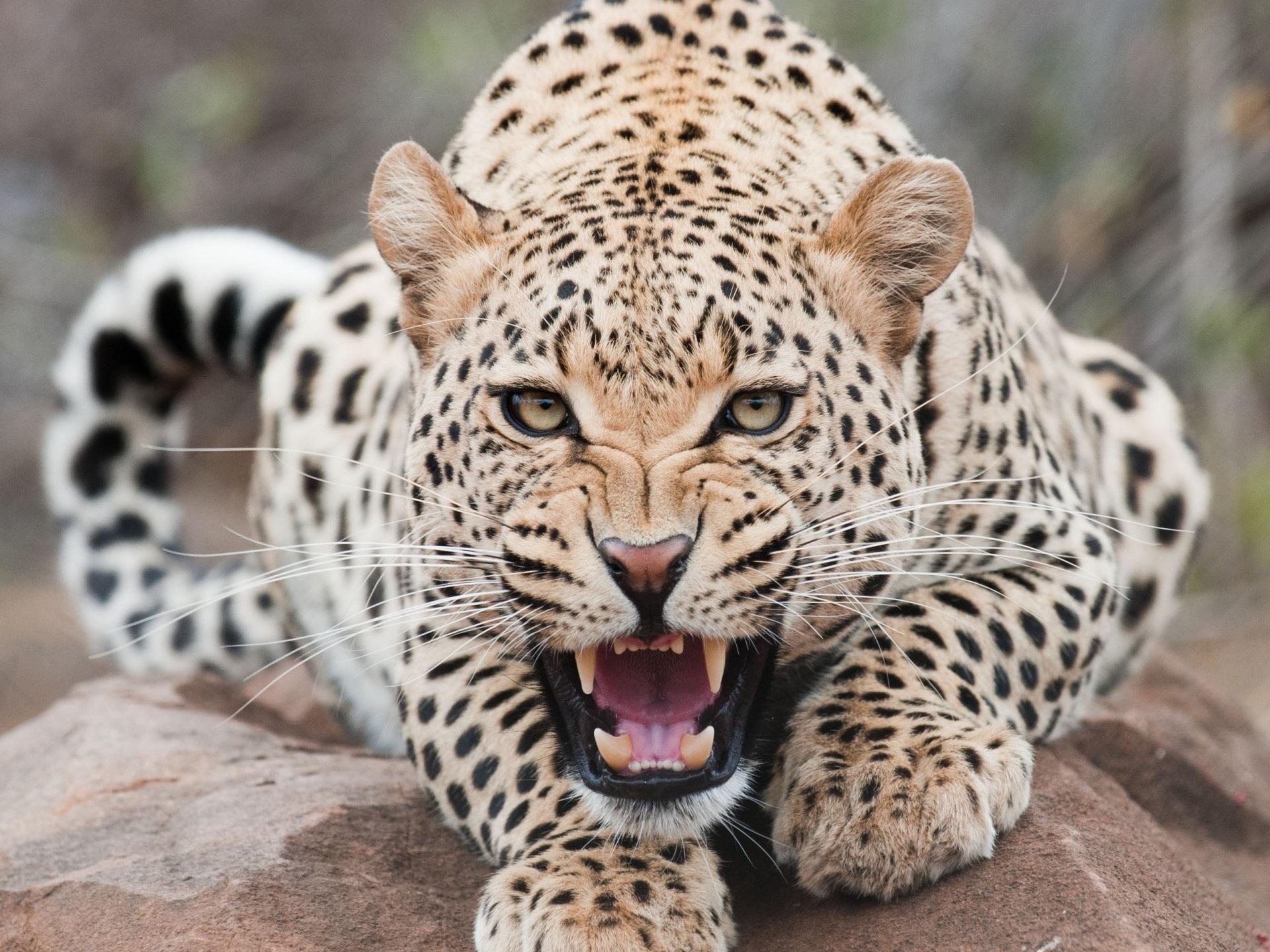 Resultado de imagen para leopardo