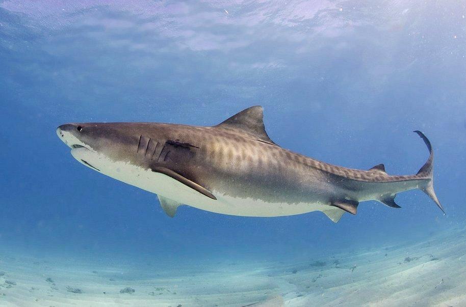 Analizan comportamiento de tiburones de la Isla del Coco