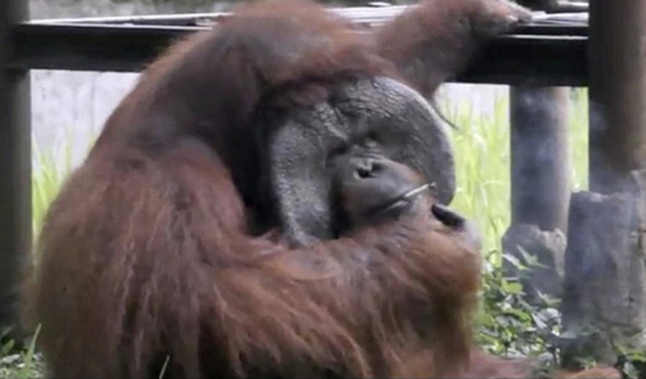 https://cdn.crhoy.net/imagenes/2018/03/ozon-orangutan-2.png