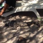 Atrapan cocodrilo cerca de hotel en Guanacaste