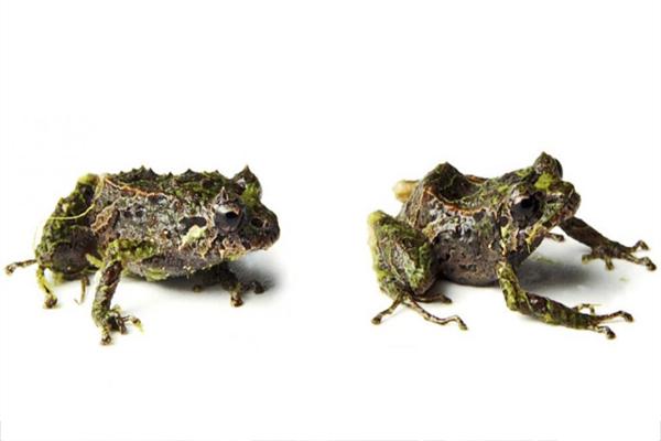 Descubren especie de rana con espinas en Ecuador